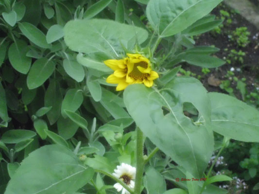 Aufgehende Sonnenblume /Garten