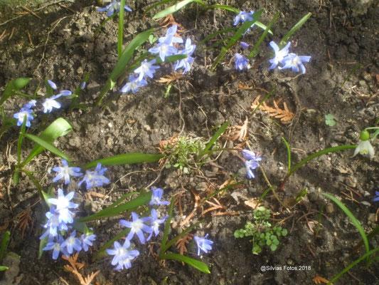 Frühlingsstern/Aufnahme Garten März 2018