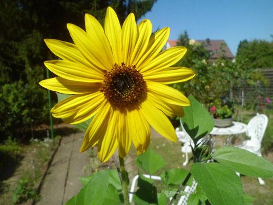 Sonnenblume Garten