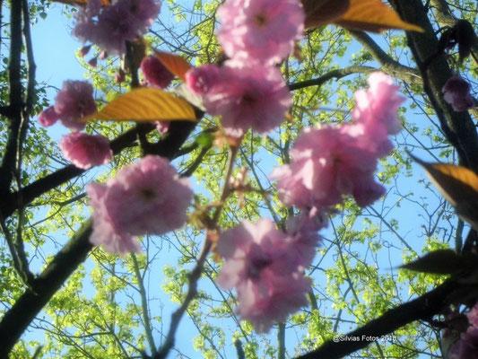 Japanische Kirschblüten/Aufnahme Anfang April 2018