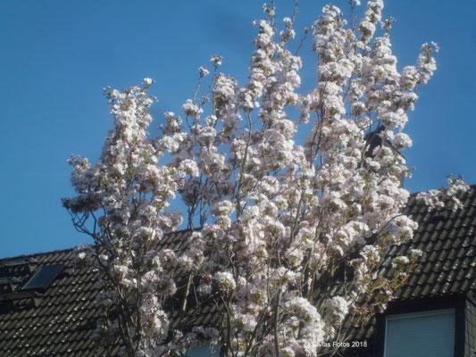 Kirschblütenbaum/Aufnahme unterwegs/Anfang April 2018