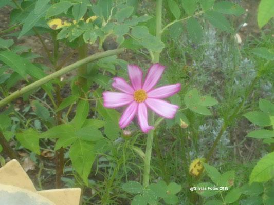 Cosmea 2018 Gartenaufnahme