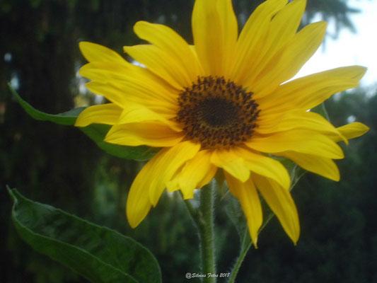 Offene Sonnenblume /Aufnahme Garten