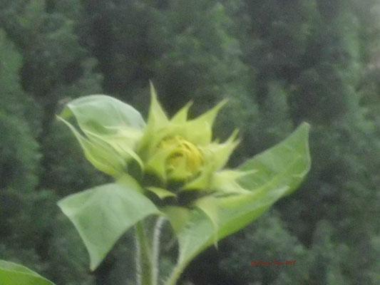 Sonnenblume im Aufgehen/Gartenaufnahme