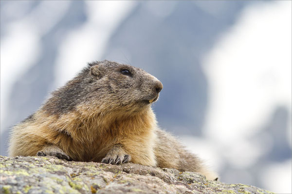 Marmotte, Vallouise, France
