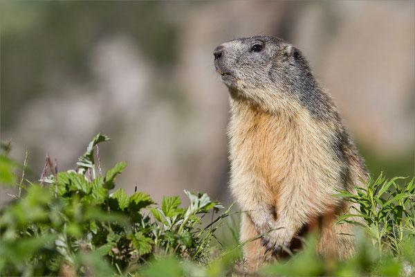 Marmotte, Vénéon, France