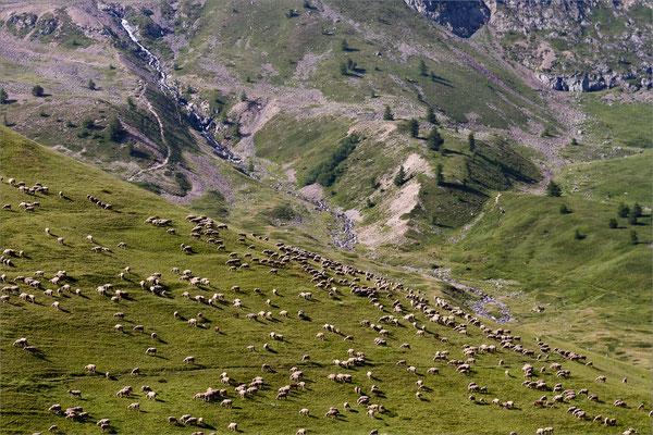 Brebis en alpage au col du Lautaret, Oisans, France