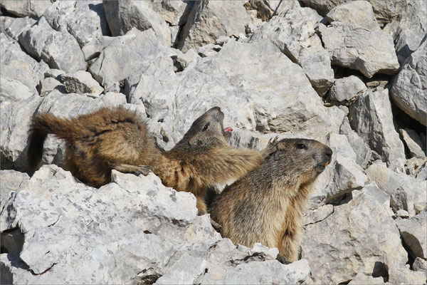 Marmottes, Vercors, France