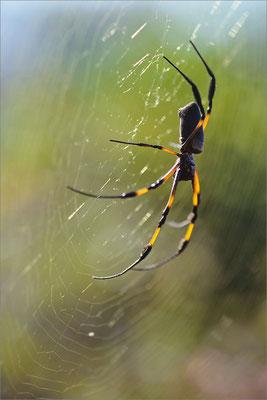 Araignée, La Réunion, France