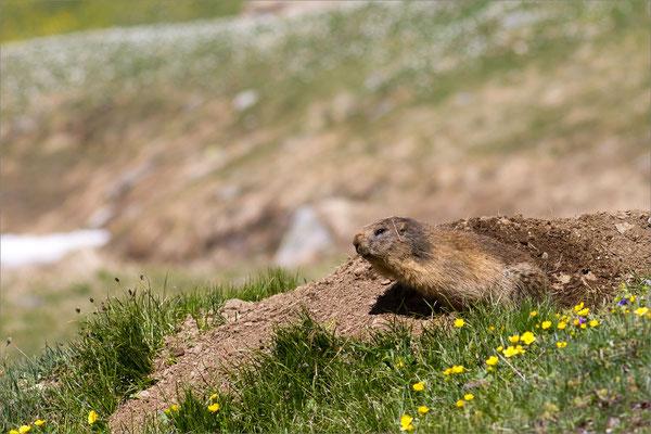 Marmotte, Vanoise, France