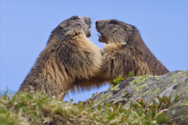 Marmottes, Vallouise, France