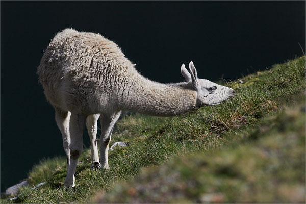 Lama, Hautes-Pyrénées, France