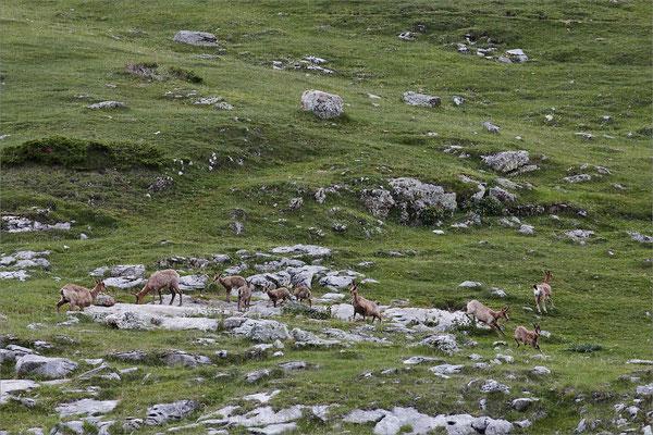 Isards, Hautes-Pyrénées, France