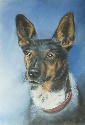 [non disponible] Vic - Jack Russell, pastel, A3, 2017