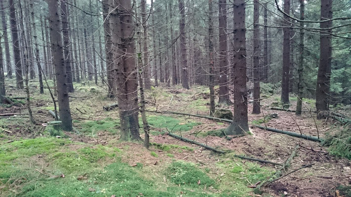 Aufforstung: Fichtenmonokultur statt Wald, 2017