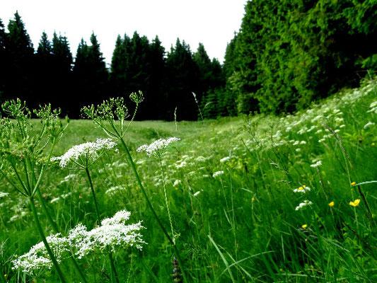 Typische Bärwurzwiese im Schiefergebirge bei knapp 800 m über NHN