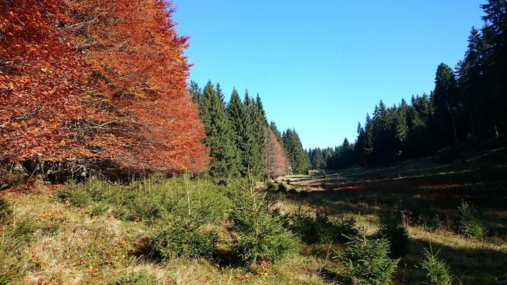 Borstgras wächst gut am trockeneren Waldrand, Herbst 2017, Schlezenbachwiese