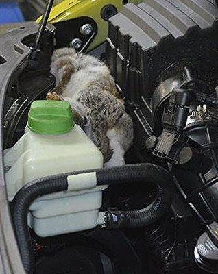 Unfassbar, ein unerwünschtes, totes Haustier: Da liegt doch auf einmal ein totes Kaninchen im Motorraum! Ob ein Marder es dorthin gebracht hat? Wie wissen es nicht. Beschädigt ist nichts.