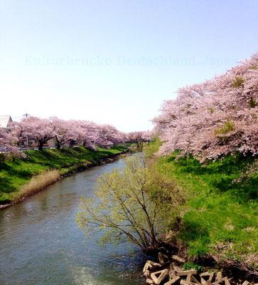 Akita: Fluss Asahi und Kirschblüten
