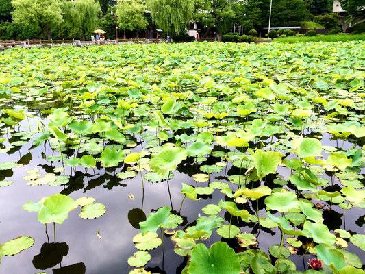 Akita: Lotusblätter am Park Senshu