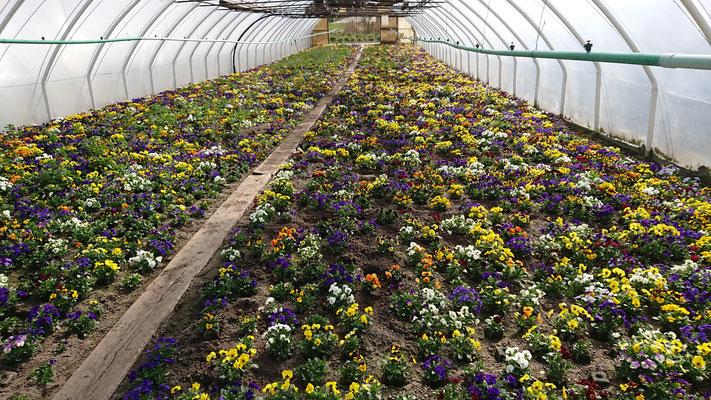 Blumenreihe bei Hauschildt