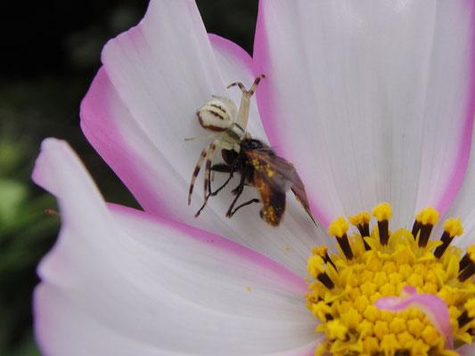Spinne schnappt sich Fliege