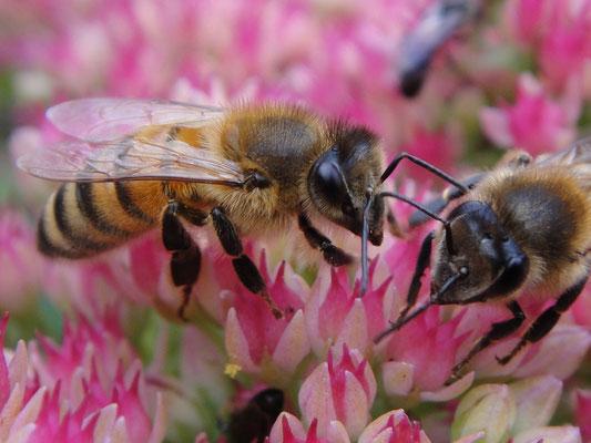 Bienen I