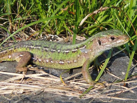 Smaragdeidechse Weibchen 1