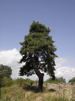 Baum Pyrenäen