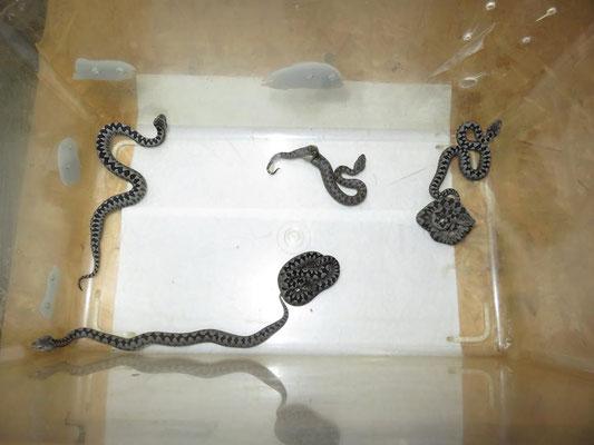 Zwei durch Quetschung/Schieflage des Eies fehlgebildete Jungtiere (0,2)
