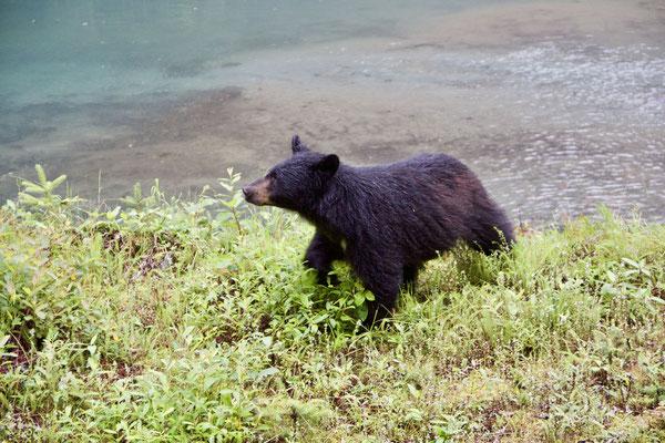 Und auch noch eine Schwarzbären-Mama mit zwei jungen holt sich ihr Nachtessen.