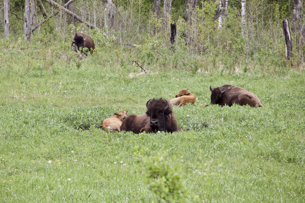 Im Riding Mountain National Park versperrt uns eine Herde Wood Buffalos (Wald Bisons) den Weg. Wir nahmen's gelassen und genossen es, die Tiere zu beobachten