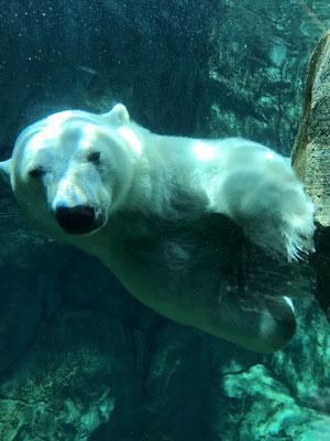 m Assiniboine Zoo von Winnipeg leben einige Eisbären in einem wirklich grossen Gehege. Dank grossen Glasscheiben kann man den Tieren beim plantschen zuschauen ohne Angst zu haben, gefressen zu werden. Dieser Bär hat uns kurz gemustert und…