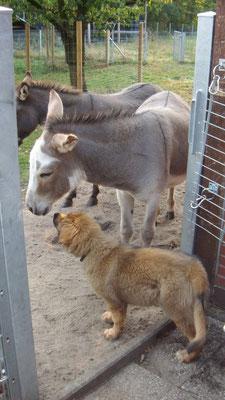 klein-Marley, hat keine Angst vor unseren Eseln...