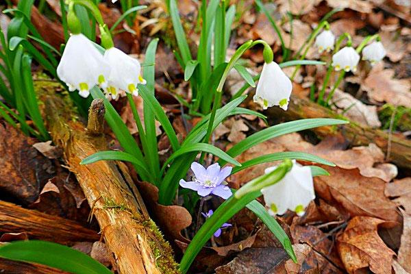 Märzenbecher mit Leberblümchen