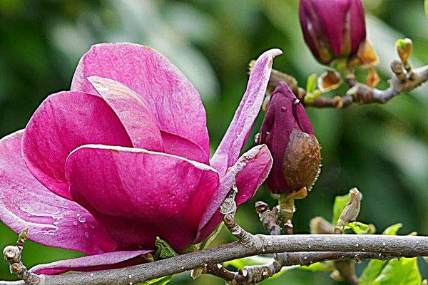 Magnolienblüte im Magnoliengarten von Bad Langensalza