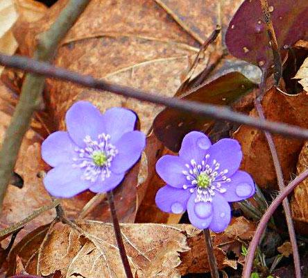 Leberblümchen Blüte