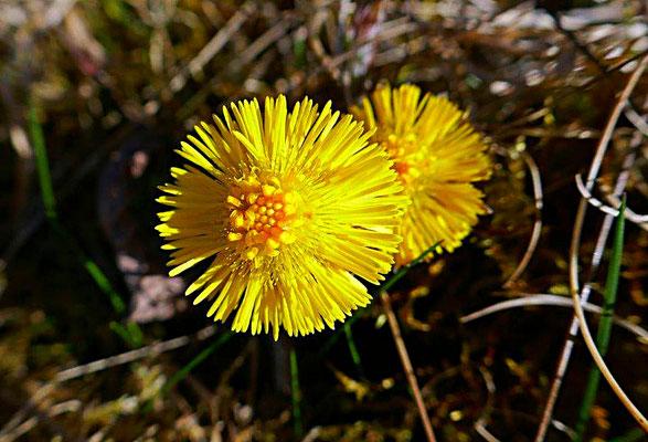 Huflattich Blüte