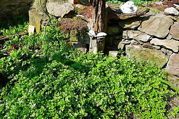 Kerbel in unserem Kräutergarten