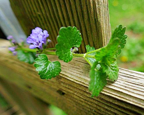 Gundelrebe mit Blüte