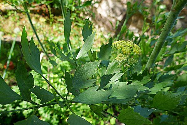 Liebstöckel Blätter und Blüte