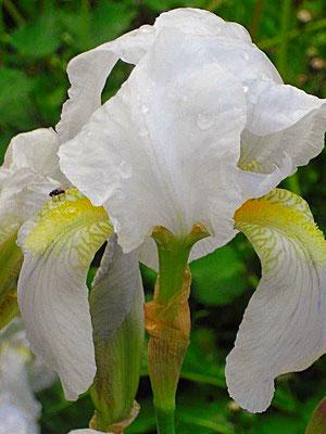 Schwertlilien Blüte