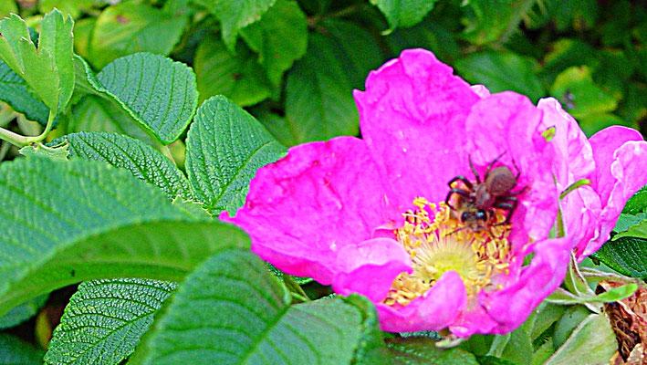 Heckenrose Blüte