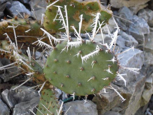 Kaktus mit Schneestacheln