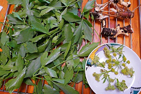 Liebstöckelblätter, -blüten und -wurzel