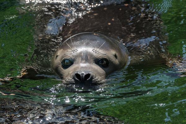 Seehund 'Felix' im Wasser  | Zoologischer Stadtgarten Karlsruhe | Foto Astrid Hansen