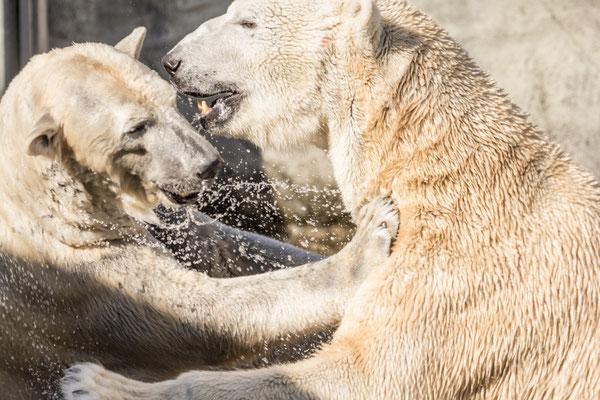 Eisbären beim Spiel | Zoologischer Stadtgarten Karlsruhe | Foto Astrid Hansen