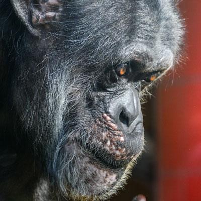 Schimpanse 'Benny' | Zoologischer Stadtgarten Karlsruhe | Foto Astrid Hansen