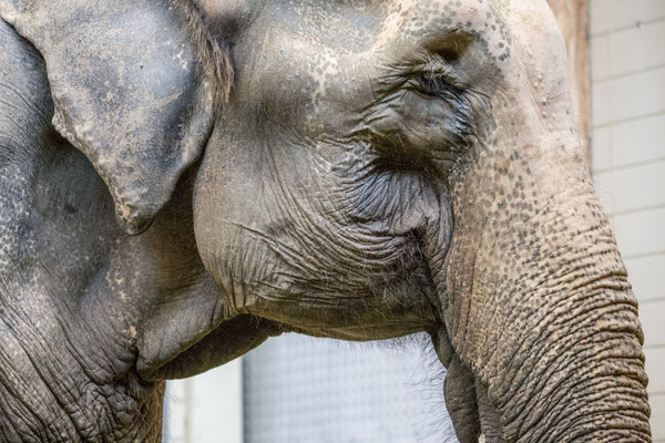 Asiatischer Elefant | Zoologischer Stadtgarten Karlsruhe | Foto Astrid Hansen