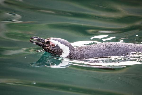 Pinguin im Wasser | Zoologischer Stadtgarten Karlsruhe | Foto Astrid Hansen
